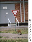 Купить «Red fox (Vulpes vulpes) standing in front of a road sign, Denver, Colorado, June.», фото № 25225150, снято 21 ноября 2019 г. (c) Nature Picture Library / Фотобанк Лори