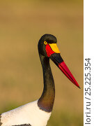Купить «Saddle-billed stork (Ephippiorynchus senegalensis) female portrait, Masai-Mara Game Reserve, Kenya», фото № 25225354, снято 11 июля 2020 г. (c) Nature Picture Library / Фотобанк Лори
