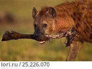 Купить «Spotted hyena (Crocuta crocuta) carrying a leg from a kill. Masai Mara National Reserve, Kenya, July», фото № 25226070, снято 11 июля 2020 г. (c) Nature Picture Library / Фотобанк Лори