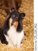 Купить «Rough Collie, bitch aged 4 years in straw», фото № 25226362, снято 19 июля 2018 г. (c) Nature Picture Library / Фотобанк Лори