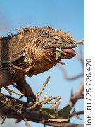 Купить «Land Iguana (Conolophus subcristatus) climbing tree to eat leaves. Galapagos Islands, Ecuador, Pacific Ocean.», фото № 25226470, снято 22 марта 2019 г. (c) Nature Picture Library / Фотобанк Лори