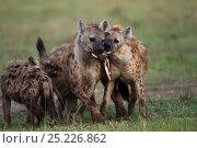 Купить «Spotted hyenas (Crocuta crocuta) playing. Masai Mara National Reserve, Kenya. August», фото № 25226862, снято 11 июля 2020 г. (c) Nature Picture Library / Фотобанк Лори