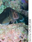 Купить «Panamic Fanged Blenny (Ophioblennius steindachneri) Galapagos Islands, Ecuador, Pacific Ocean.», фото № 25227334, снято 22 марта 2019 г. (c) Nature Picture Library / Фотобанк Лори