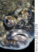 Купить «Lemon sole (Microstomus kitt) portrait. Gardur, south west Iceland. North Atlantic Ocean», фото № 25227570, снято 25 сентября 2018 г. (c) Nature Picture Library / Фотобанк Лори