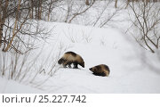 Купить «Wolverines (Gulo gulo) meeting, in dominant and submissive postures. Kronotsky Zapovednik Nature Reserve, Kamchatka Peninsula, Russian Far East, March.», фото № 25227742, снято 15 октября 2018 г. (c) Nature Picture Library / Фотобанк Лори