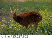 Купить «Visayan Spotted Deer (Rusa / Cervus alfredi) Breeding center of Silliman University, Negros Island, Philippines. Endangered.», фото № 25227802, снято 19 июня 2019 г. (c) Nature Picture Library / Фотобанк Лори