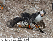 Puffins (Fratercula arctica) fighting, Staple Island, Farnes, Northumberland, July. Стоковое фото, фотограф DAVID TIPLING / Nature Picture Library / Фотобанк Лори