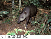 Brazilian Tapir (Tapirus terrestris) at Emas National Park, Goias State, Cerrado region, Central Brazil. Стоковое фото, фотограф Luiz Claudio Marigo / Nature Picture Library / Фотобанк Лори