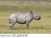 Купить «White rhino (Ceratotherium simum) baby, Nakuru National Park, Kenya», фото № 25228618, снято 18 августа 2018 г. (c) Nature Picture Library / Фотобанк Лори