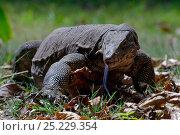 Купить «Water monitor (Varanus salvator), foraging, flicking tongue, Thailand», фото № 25229354, снято 25 мая 2019 г. (c) Nature Picture Library / Фотобанк Лори