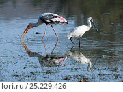 Купить «Eurasian Spoonbill (Platalea leucorodia) and Painted Stork (Mycteria leucocephala) with baby Marsh Crocodile (Crocodylus palustris)  head in water in the background. India», фото № 25229426, снято 22 марта 2019 г. (c) Nature Picture Library / Фотобанк Лори
