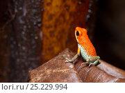 Купить «Granulated poison dart frog (Dendrobates granuliferus) Las Tardes, Costa Rica», фото № 25229994, снято 29 мая 2020 г. (c) Nature Picture Library / Фотобанк Лори