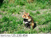 Купить «Common hamster (Cricetus cricetus) foraging in a field,  Alsace, France, April, captive», фото № 25230454, снято 27 мая 2018 г. (c) Nature Picture Library / Фотобанк Лори