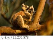 Купить «Ringtail Lemur (Lemur catta) mother and baby. Madagascar.», фото № 25230578, снято 22 сентября 2018 г. (c) Nature Picture Library / Фотобанк Лори