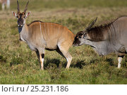 Eland male (Taurotragus oryx) smelling females urine to establish if she is in oestrus. Masai Mara National Reserve, Kenya, July. Стоковое фото, фотограф Anup Shah / Nature Picture Library / Фотобанк Лори