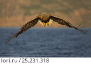 White tailed Sea Eagle (Haliaeetus albicilla) in flight, Norway, July. Bookplate from Danny Green's 'The Long Journey North' Стоковое фото, фотограф Danny Green / Nature Picture Library / Фотобанк Лори