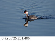 Купить «Slavonian Grebe (Podiceps auritus) in winter plumage, swimming on lake, in country park, Staffordshire, UK, February», фото № 25231486, снято 16 августа 2018 г. (c) Nature Picture Library / Фотобанк Лори