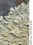 Купить «Lichen (Parmelia caperata) close up of surface, on gravestone, Devon, England, July», фото № 25231610, снято 18 августа 2018 г. (c) Nature Picture Library / Фотобанк Лори
