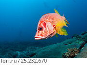 Купить «Long jawed / Sabre squirrelfish (Sargocentrum spiniferum) over the reef, Maldives, Indian Ocean», фото № 25232670, снято 26 марта 2019 г. (c) Nature Picture Library / Фотобанк Лори