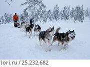 Купить «Siberian Husky dog team pulling sled inside Riisitunturi National Park, Lapland, Finland», фото № 25232682, снято 19 октября 2019 г. (c) Nature Picture Library / Фотобанк Лори