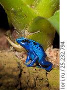 Купить «Blue Poison Dart Frog (Dendrobates azureus / tinctorius) captive from South America», фото № 25232794, снято 29 мая 2020 г. (c) Nature Picture Library / Фотобанк Лори
