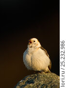 Snow bunting (Plectrophenax nivalis) male singing, Iceland, June. Bookplate from Danny Green's 'The Long Journey North' Стоковое фото, фотограф Danny Green / Nature Picture Library / Фотобанк Лори