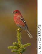 Pine grosbeak (Pinicola enucleator) male perched on conifer branch, Northern Finland, April. Bookplate from Danny Green's 'The Long Journey North' Стоковое фото, фотограф Danny Green / Nature Picture Library / Фотобанк Лори