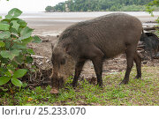 Bornean bearded pigs (Sus barbatus) foraging on Teluk Assam Beach. Bako National Park, Sarawak, Borneo, Malaysia. Стоковое фото, фотограф Jurgen Freund / Nature Picture Library / Фотобанк Лори