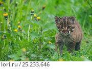 Купить «Temmincks / Asiatic golden cat (Pardofelis temmincki) young kitten, captive», фото № 25233646, снято 5 апреля 2020 г. (c) Nature Picture Library / Фотобанк Лори