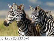 Grant's zebra (Equus burchelli boehmi) Masai-Mara Game Reserve, Kenya. Стоковое фото, фотограф Denis-Huot / Nature Picture Library / Фотобанк Лори