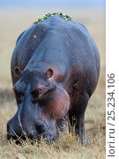 Купить «Hippo (Hippopotamus amphibius) male grazing with water lettuces (Pistia stratiotes) on its back, in the rain, Masai-Mara Game Reserve, Kenya. Vulnerable species.», фото № 25234106, снято 26 марта 2019 г. (c) Nature Picture Library / Фотобанк Лори
