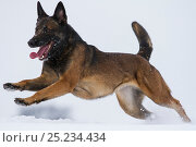 Купить «A Malinois / Belgian Shepherd police dog 'Mia' owned by German police officer and dog handler, playing in the snow. Germany», фото № 25234434, снято 12 января 2018 г. (c) Nature Picture Library / Фотобанк Лори