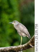 Купить «Yellow-crowned Night-Heron (Nyctanassa violacea) Tortugueros, Costa Rica», фото № 25235758, снято 26 мая 2020 г. (c) Nature Picture Library / Фотобанк Лори