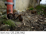 Купить «Brown rats (Rattus norvegicus) by drainpipe, France, March Captive», фото № 25236942, снято 17 августа 2018 г. (c) Nature Picture Library / Фотобанк Лори