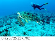 Купить «Scuba diver with Green sea turtle (Chelonia mydas) Maldives, Indian Ocean, Endangered species.», фото № 25237702, снято 18 июня 2019 г. (c) Nature Picture Library / Фотобанк Лори