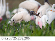 Купить «American Wood Ibis (Mycteria americana) feeding on catfish in a drying pool, at the end of the dry season lots of herons of different species gather to...», фото № 25238206, снято 28 мая 2018 г. (c) Nature Picture Library / Фотобанк Лори