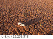 Купить «Dry cracked desert soil along the Oodnadatta Track, with skull, South Australia, June 2011», фото № 25238518, снято 22 августа 2018 г. (c) Nature Picture Library / Фотобанк Лори