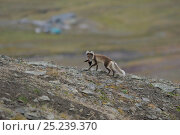 Купить «Arctic fox (Alopex lagopus) with bird prey, Svalbard, Norway», фото № 25239370, снято 20 марта 2019 г. (c) Nature Picture Library / Фотобанк Лори