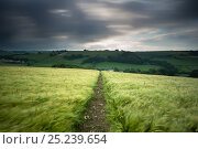 Купить «Footpath / track through a field of barley under stormy sky, near Plush, Dorset, UK June 2012», фото № 25239654, снято 23 апреля 2018 г. (c) Nature Picture Library / Фотобанк Лори