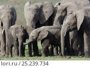 Купить «African Elephant (Loxodonta africana) babies playing, surrounded by adult females. Masai-Mara Game Reserve, Kenya.», фото № 25239734, снято 26 февраля 2020 г. (c) Nature Picture Library / Фотобанк Лори