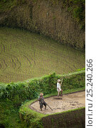 Купить «Men working the rice terraces of Ubud, Bali, Indonesia 2009», фото № 25240266, снято 25 сентября 2018 г. (c) Nature Picture Library / Фотобанк Лори