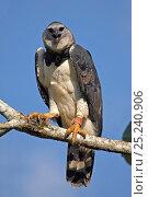 Купить «Harpy Eagle (Harpia harpyja) portrait. Gamboa, Soberania National Park, Panama.», фото № 25240906, снято 24 апреля 2019 г. (c) Nature Picture Library / Фотобанк Лори