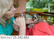 Купить «Brown throated Three-toed Sloth (Bradypus variegatus) Judy Avey-Arroyo, Sanctuary Owner, administering rehydration fluids to 2 month orphan baby, Aviarios Sloth Sanctuary, Costa Rica. Model released», фото № 25242662, снято 18 августа 2018 г. (c) Nature Picture Library / Фотобанк Лори