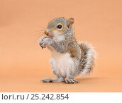 Купить «Young Grey Squirrel (Sciurus carolinensis) domesticated, eating a hazelnut.», фото № 25242854, снято 6 января 2019 г. (c) Nature Picture Library / Фотобанк Лори