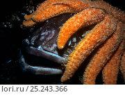 Купить «Sunflower Sea Star (Pycnopodia helianthoides) scavenging dead Lingcod (Ophiodon elongatus) Vancouver Island, British Columbia, Canada North Pacific Ocean», фото № 25243366, снято 14 ноября 2018 г. (c) Nature Picture Library / Фотобанк Лори