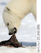 Купить «Polar Bear (Ursus maritimus) feeding on scraps, Svalbard, Norway», фото № 25243886, снято 15 декабря 2017 г. (c) Nature Picture Library / Фотобанк Лори