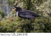 Ring Ouzel (Turdus torquatus) eating a berry, Uto Finland, April. Fascinating birds bookplate. Стоковое фото, фотограф Markus Varesvuo / Nature Picture Library / Фотобанк Лори