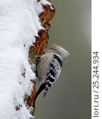 Lesser Spotted Woodpecker (Dendrocopos minor) male drumming on snowy tree trunk, Kotka, Finland, January. Fascinating birds bookplate. Стоковое фото, фотограф Markus Varesvuo / Nature Picture Library / Фотобанк Лори
