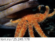 Купить «Sunflower Sea Star (Pycnopodia helianthoides) scavenging Lingcod (Ophiodon elongatus) Vancouver Island, British Columbia, Canada, North Pacific Ocean», фото № 25245178, снято 14 ноября 2018 г. (c) Nature Picture Library / Фотобанк Лори