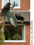 Купить «Common starling (Sturnus vulgaris) on bird feeder with man in background watching through house window with binoculars, Poynton, Cheshire, England, UK, May. Property released.», фото № 25245894, снято 15 октября 2019 г. (c) Nature Picture Library / Фотобанк Лори